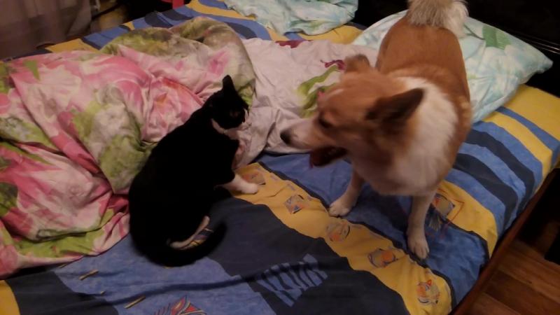 Бой кошки и собаки