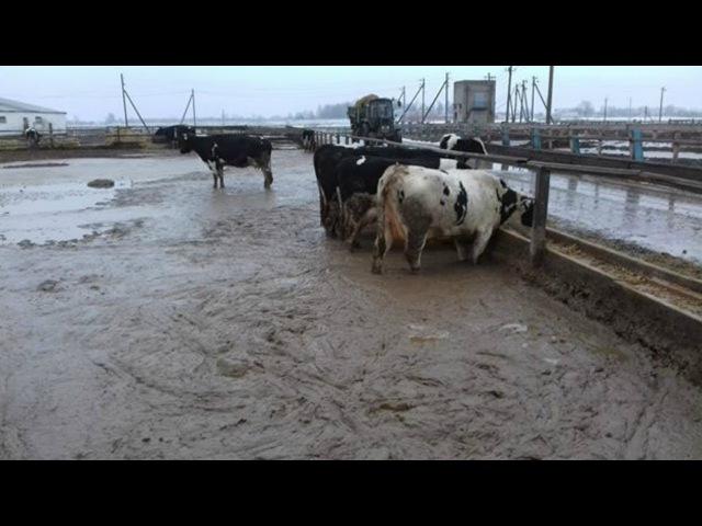 Ад цыцак да гаўна некалькі сантыметраў | Коровы на ферме Уть в Добрушском районе