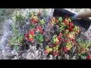 Как собирать ягоды Грабля для сбора ягод коса для сбора ягод