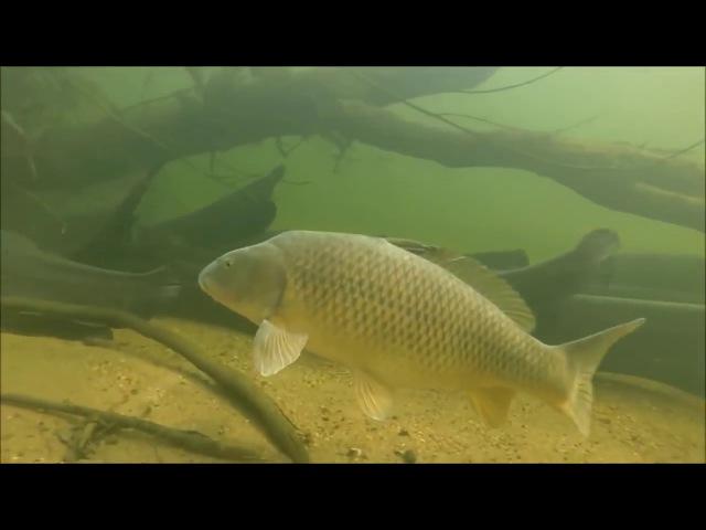 Праймы пресноводных водоёмов Съёмки подводной камерой сомовьей стаи с сазанами