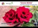 Siam Rose New 2015 Rosy Adenium - The Most Rose Looks