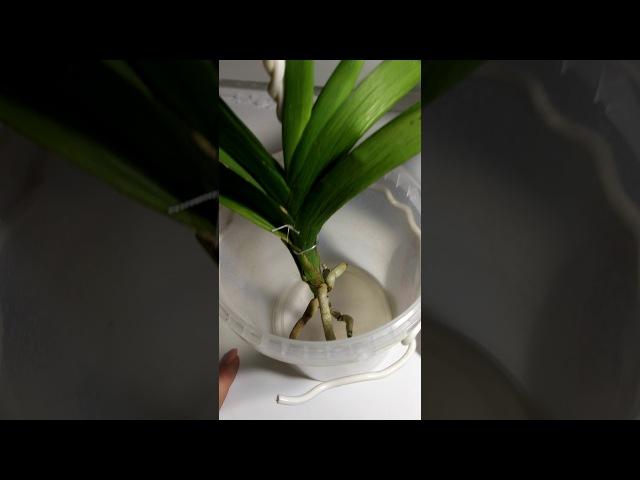 Корни растут с бешеной скоростью у орхидеи