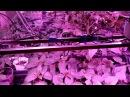 Такой рассады Вы еще не видели! Выращивание рассады помидор за 30 дней! Советуем посмотреть.