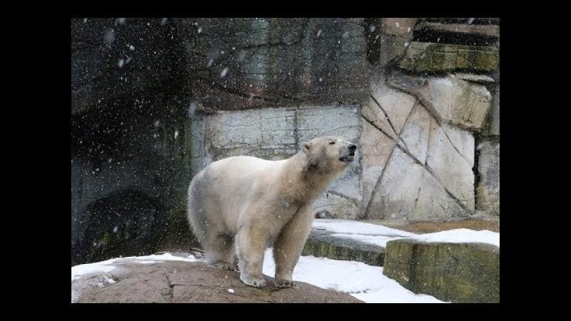 Ny hunisbjørn ankom til Zoo New polar bear arriving in Copenhagen Zoo