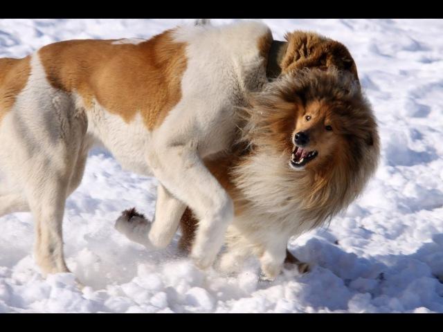 Самый смешной собачий бой