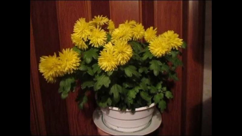Хризантема в горшке Шаги кустика от квартиры до грядки