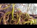Уценка Орхидеи Ванды из ОБИ.