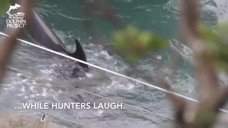 Melon-headed whale struggles while dragged to slaughter, Taiji, Japan. This isn't tradition – this is cruelty