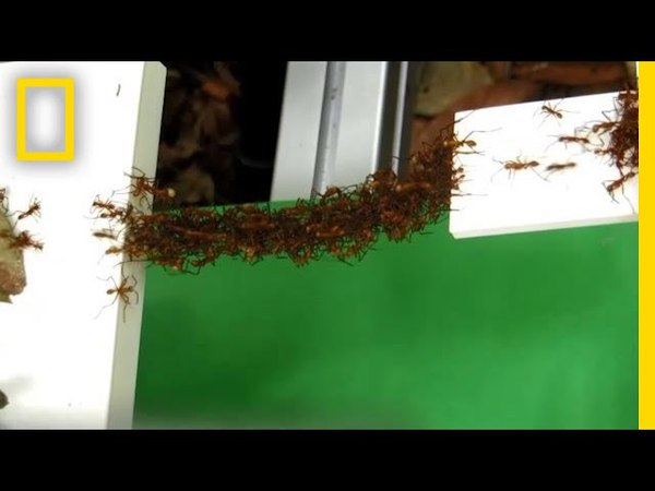 See How Ants Build Bridges in Mid-Air With Just Their Bodies | National Geographic Как муравьи строят мосты