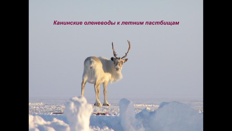 Канинские оленеводы к летним пастбищам ( Копия)