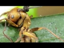 Грибы которые делают зомби из живых существ Гриб Кордицепс Гриб убийца