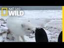Come Face-to-Face With an Adorable Arctic Fox Nat Geo Wild
