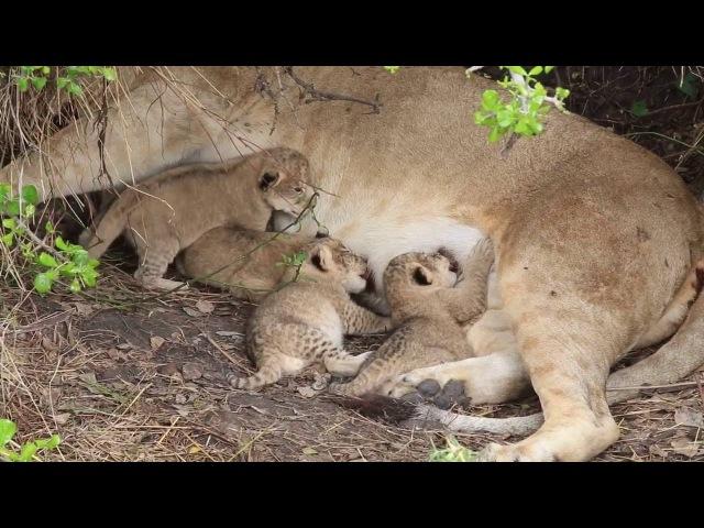 Tiny newborn lion cubs, Serengeti - African Family Safaris
