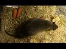 Гамбийских крыс будут разводить в зоогалерее в Иркутске, «Вести-Иркутск»