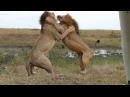 Wild Fauna / Прирождённые Короли / Великий прайд Львов / Lions at War / Mapogo Lions /Часть-1