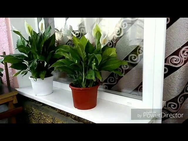 Спатифиллум (Женское счастье) в керамзите! Гидропоника. Spathiphyllum (Female happiness) Hydroponics