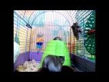 Singing hamsters. Весёлые хомяки