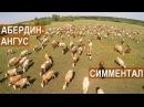 Спиваков А.А. Об особенностях Симментальской и Абердин ангусской породы КРС