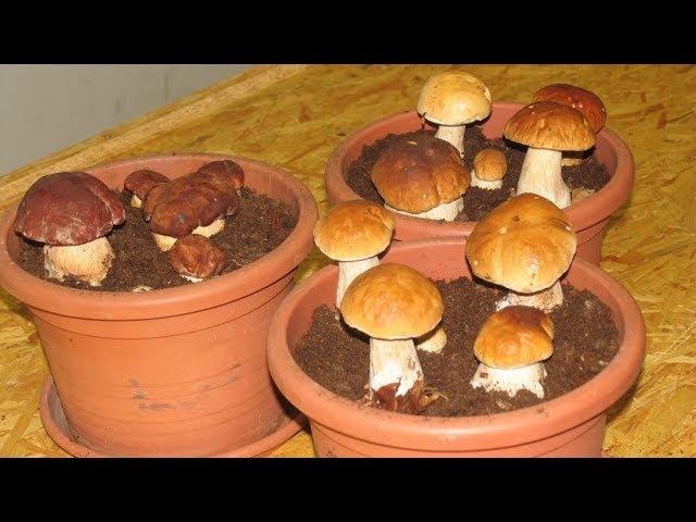 Как вырастить много белых грибов дома (шокирующий результат)
