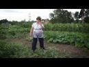 Удачная среда тонкости выращивания арбузов в сибирских условиях Бийское телевидение