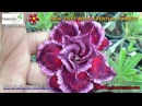 Siam Wonder New 2015 Rosy Adenium