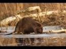 Охота на бобров 2018 1 Будни охотника и рыбака