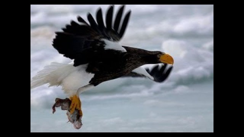 Steller's Eagle Soars To Hunting