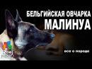 Бельгийская овчарка Малинуа - Все о породе собаки | Собака породы - Бельгийская о...