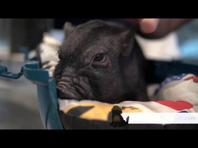 CAP 267. CASTRACIÓN CERDITO miniatura. Cuidados y consejos para los cerdos enanos. Veterinario