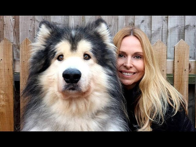 GIANT ALASKAN MALAMUTE DOGS Animal Watch