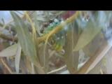 The Ceanothus silk moth