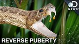 How Obesity And Snakebites Affect Puberty