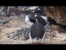 Penguin Rock Stealer