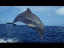 Дельфины шпион в стае Dolphins Spy In The Pod episode 2