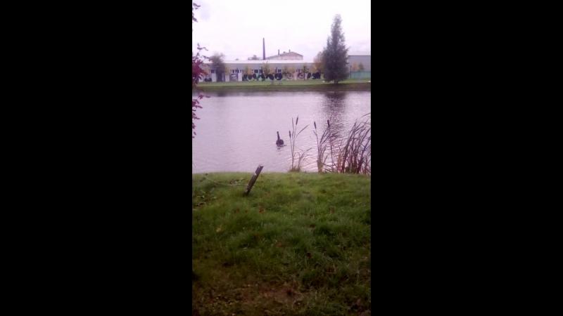 черный и упитанный красавец лебедь