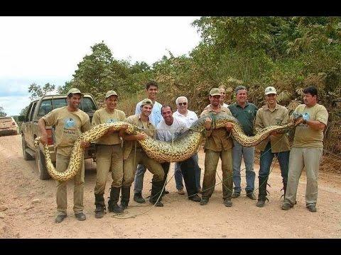 Гиганты мира животных — Самая большая змея (Документальные фильмы HD)