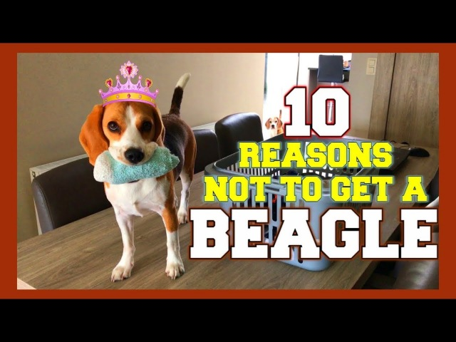 10 Reasons why you should NOT get a BEAGLE! Funny Dogs Louie Marie