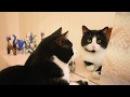 Кот смотрится в зеркало по просьбе хозяйки. Черно - белая команда котиков. Котики...