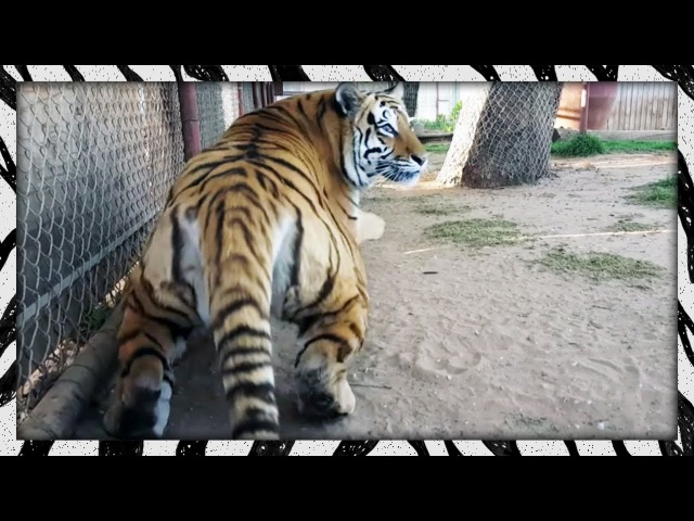 I scared the crap out of Melita | FRIGHTENED TIGER