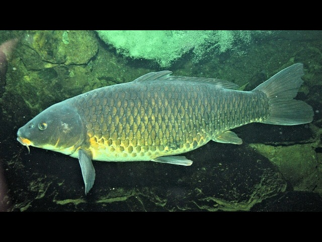 подводная охота зимой, нашёл сазанов