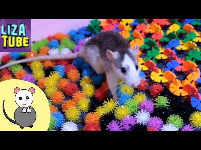 Крыски и новая Полоса препятствий Лиза и крыски мои питомцы LizaTube