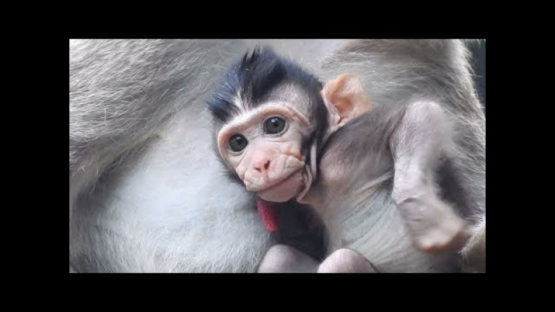 Cute Face and lovely baby monkey just born
