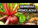 Como Sembrar Remolacha En El Huerto Fácil ( Cultivo Betarraga o betabel )|| La Huertina De Toni