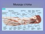 Анатомия и биомеханика стопы. День 4 ч. 2