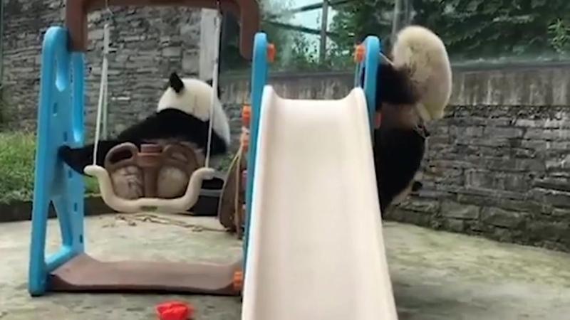 Неуклюжая панда застряла в баскетбольном кольце