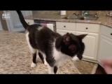 Кот с самым низким звучанием голоса