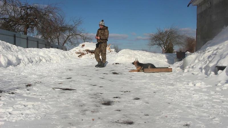 Немецкая овчарка Фокси (4 месяца)