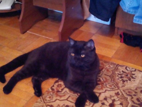 Пропал кот,британец,окрас чёрная дымка, в микрорайоне Венеция. Просьба