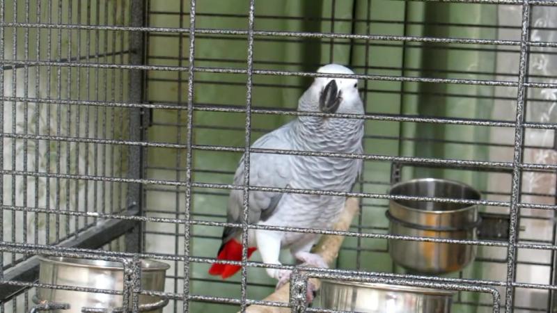 Попугай читает стихи )