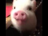 Приятного аппетита свинка